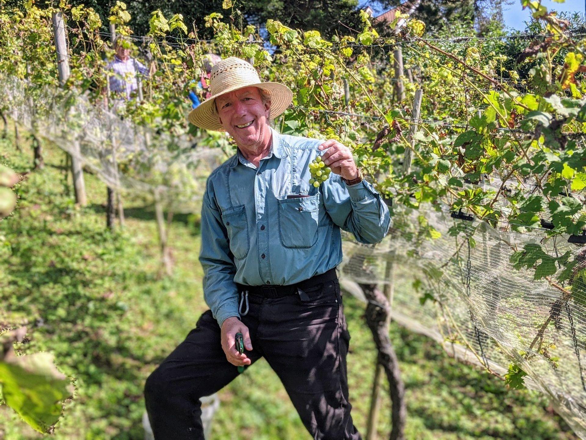 Ehrenamtliche lesen die weißen und roten Trauben der Ravensburger Rebgärten.